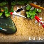 Koi Live Wallpaper v1.9
